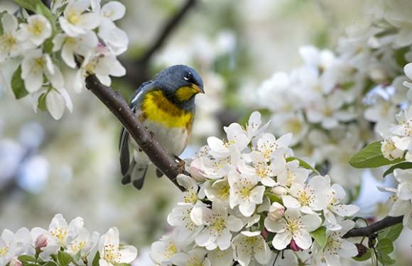 PHOTO: Northern parula warbler.