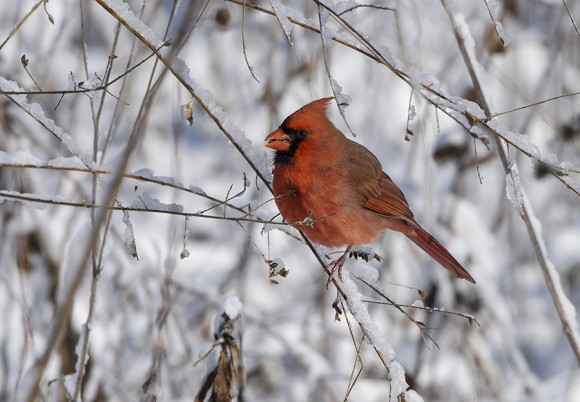Male cardinal surveying the bounty on the prairie.