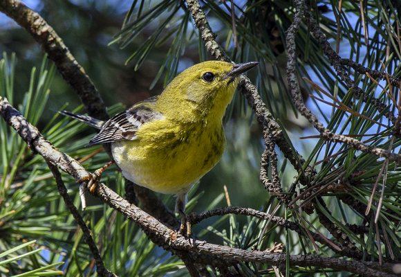 Pine warbler (Setophaga pinus)
