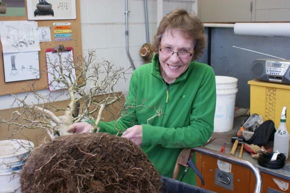 PHOTO: Bonsai volunteer Ester Bannier assists in root trimming.