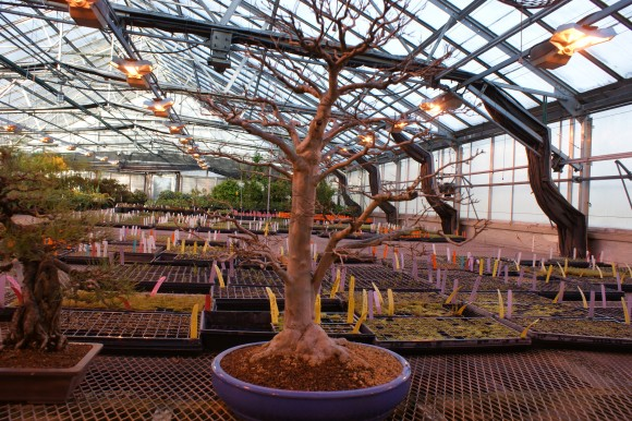 """PHOTO: Bonsai """"benched"""" in the greenhouse until spring."""