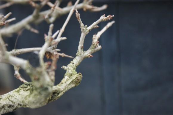 PHOTO: Dormant bud on bonsai.