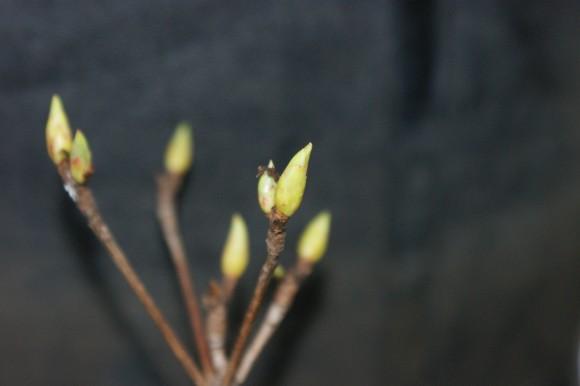 PHOTO: Swelling bud on bonsai.