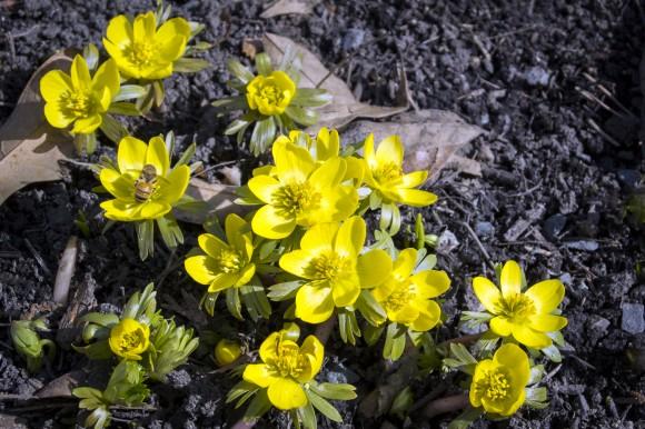 PHOTO: Winter aconite in bloom.