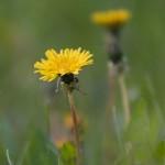 PHOTO: Dandelion closeup.