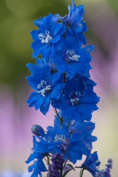 PHOTO: Delphinium in bloom.