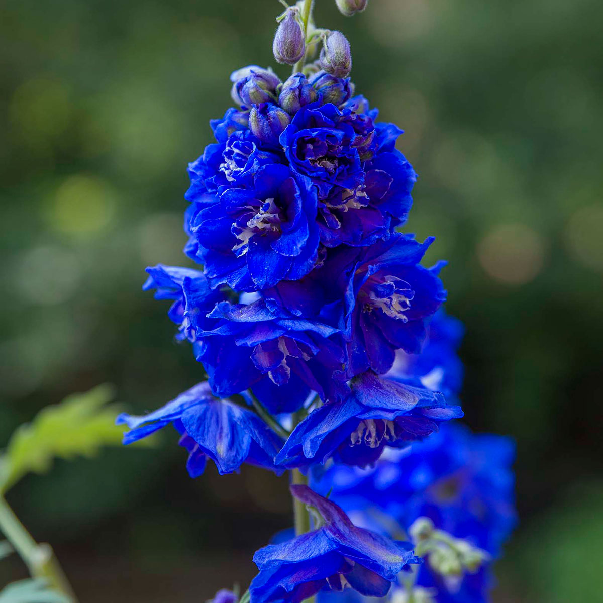 Patriotic (and rare) true blue blooms you'll want in your yard
