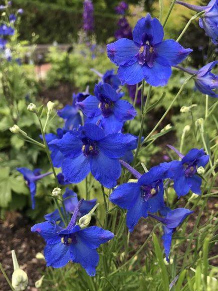 Blue Butterfly larkspur (Delphinium grandiflorum 'Blue Butterfly')