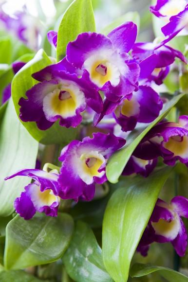 PHOTO: Dendrobium Comet King 'Akatsuki' orchid.