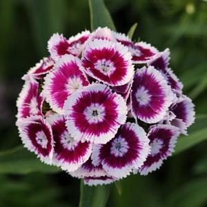 Dianthus barbatus 'Sweet Purple' by Panam Seed