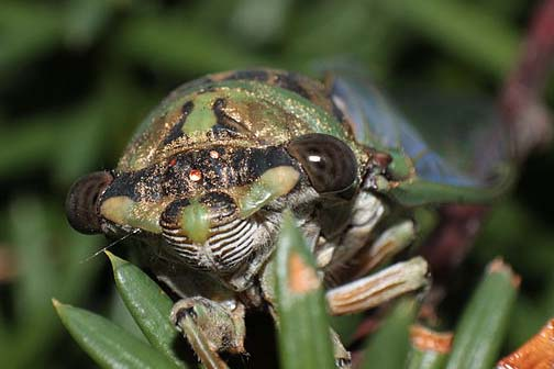 "Front ""face"" view of a cicada, showing 5 eyes."