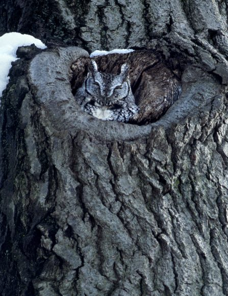 PHOTO: An eastern screech-owl snuggles in to its nest in winter. Photo by Carol Freeman.