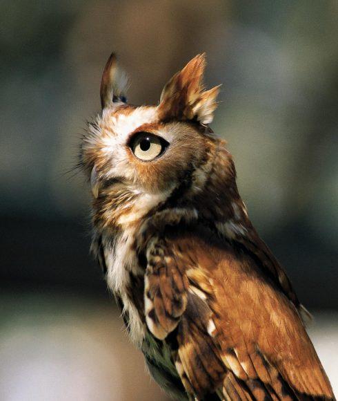 Young eastern screech-owl. Photo by Carol Freeman.