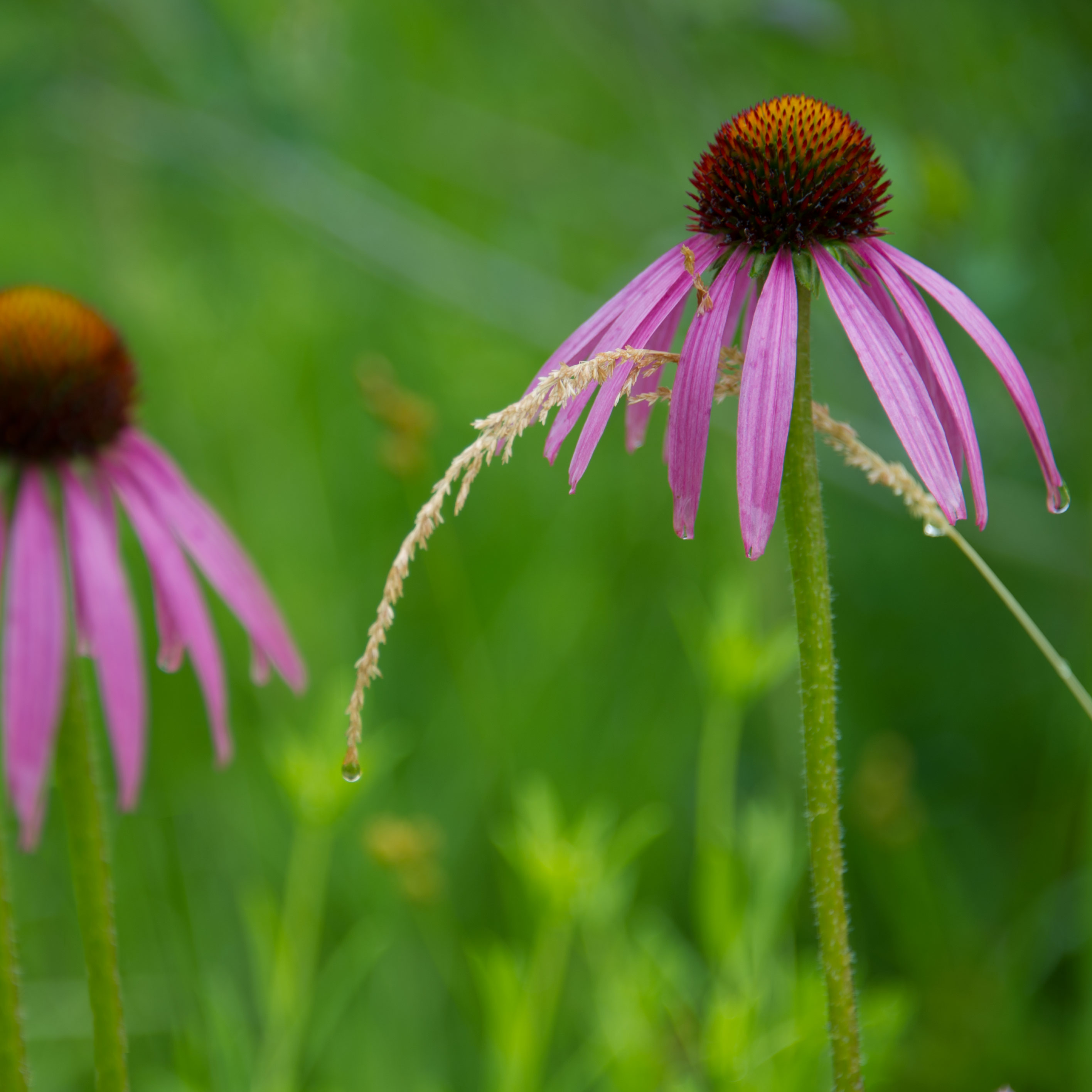 PHOTO: Echinacea purpurea.