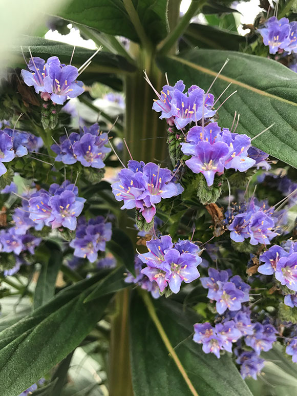 Echium pininana 'Blue Steeple'