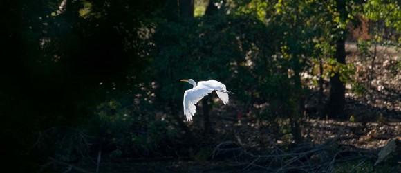 PHOTO: Egret in flight.