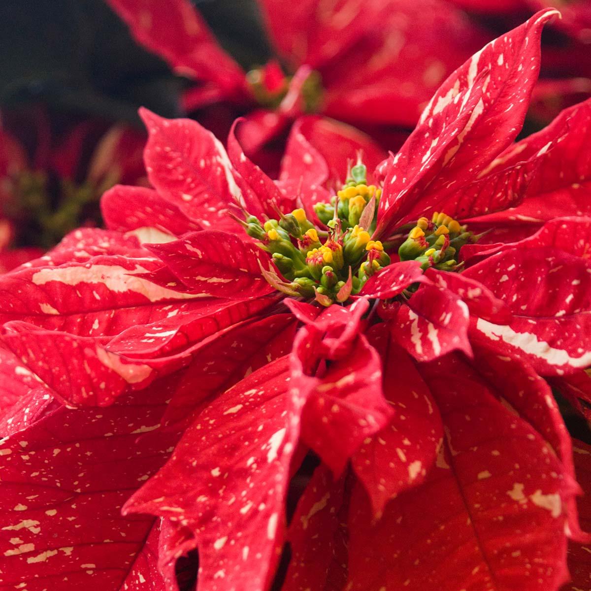 PHOTO: Red Glitter poinsettia (Euphorbia pulcherrima 'Red Glitter').