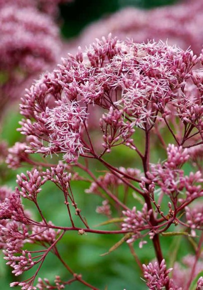 Closeup of a Joe-Pye weed in bloom.