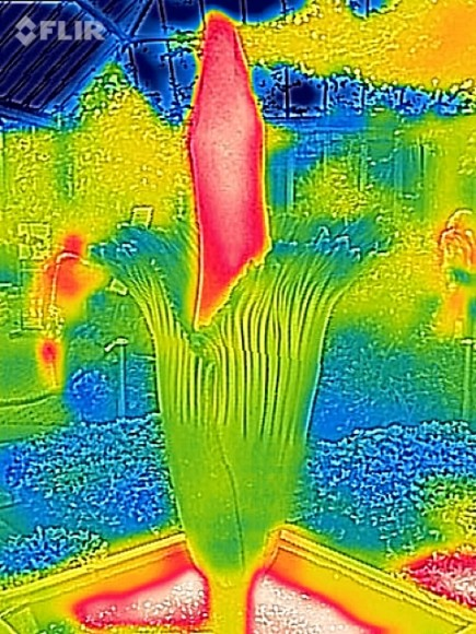 A thermographic image of Alice in bloom shows the spadix heating up.