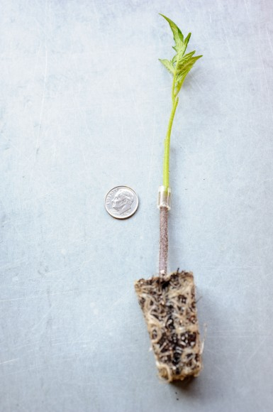 PHOTO: Tomato graft with silicon tubing holding the graft in place to heal.