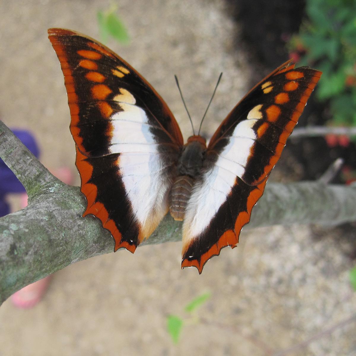Speaking of Lepidoptera: Understanding butterfly vocabulary