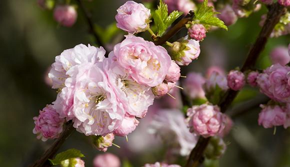 Flowering almond (Prunus triloba)