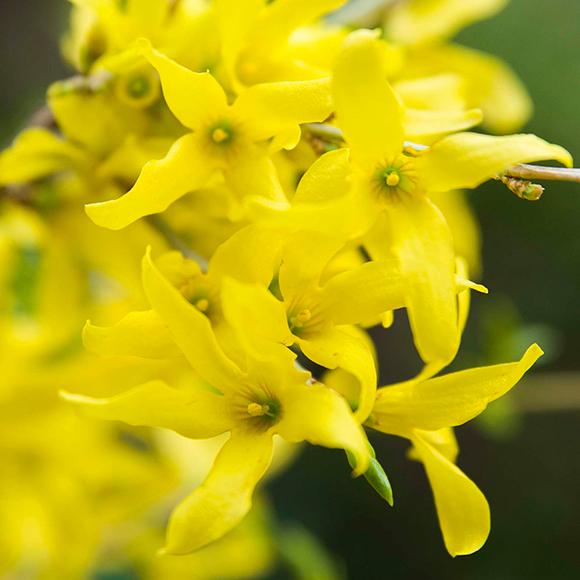 Gold Tide forsythia (Forsythia 'Courtasol') in bloom