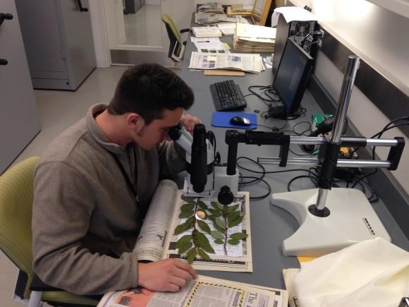 PHOTO: Frank Balestri examines a Salix herbarium voucher.