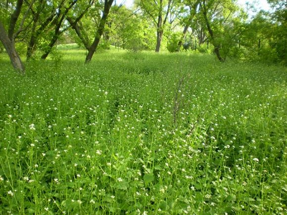 Garlic mustard takes over after buckthorn is removed from the woods.