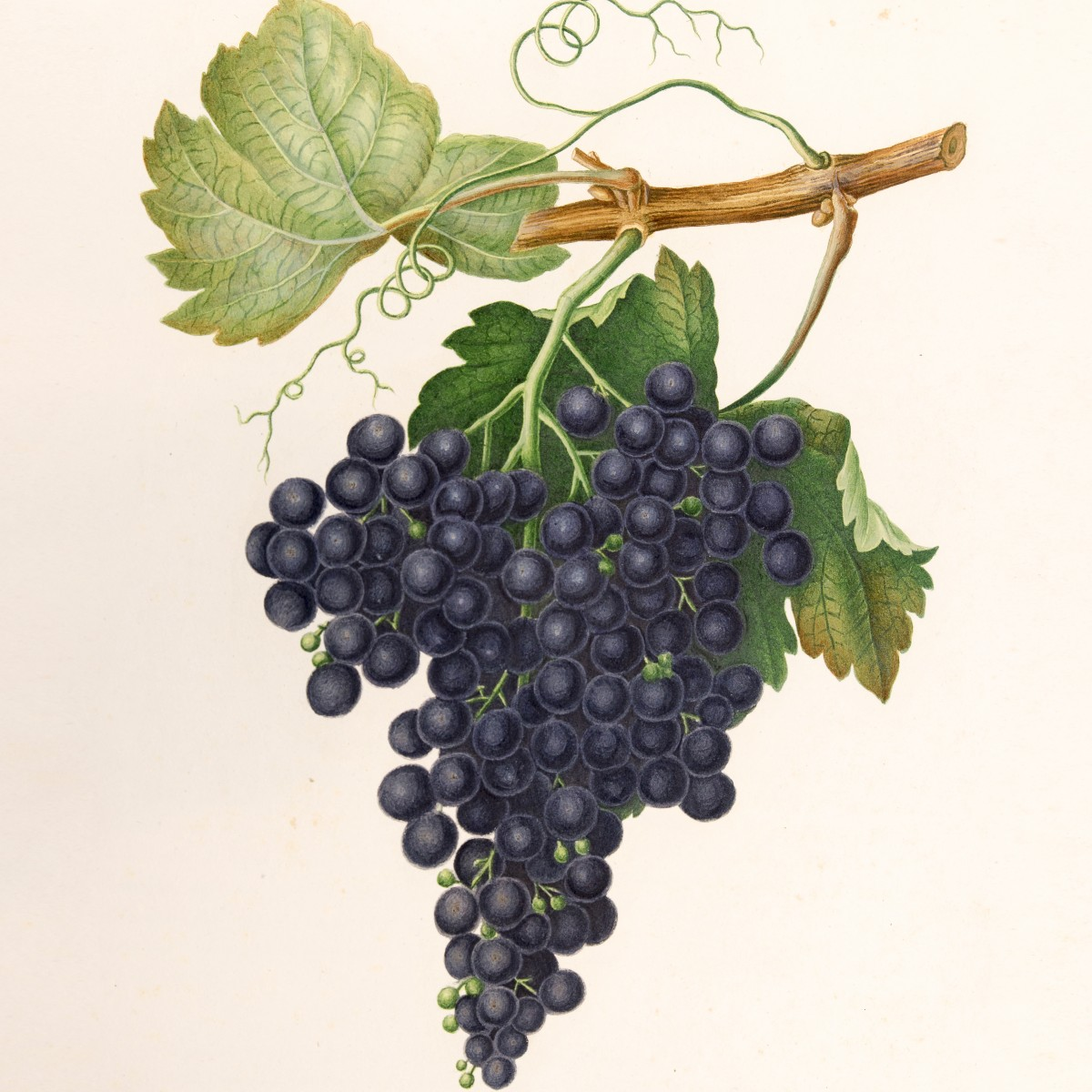 Ampelography: I heard it through the grapevine