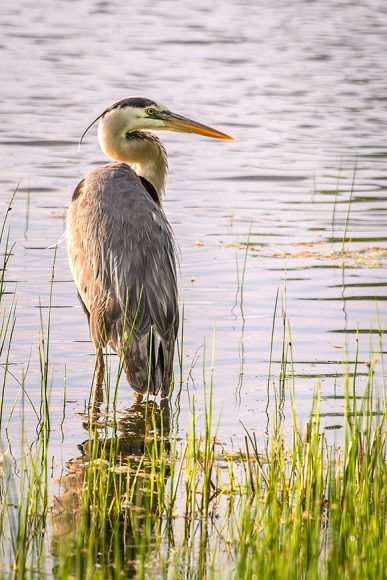 PHOTO: A great blue heron fishes from the shoreline.