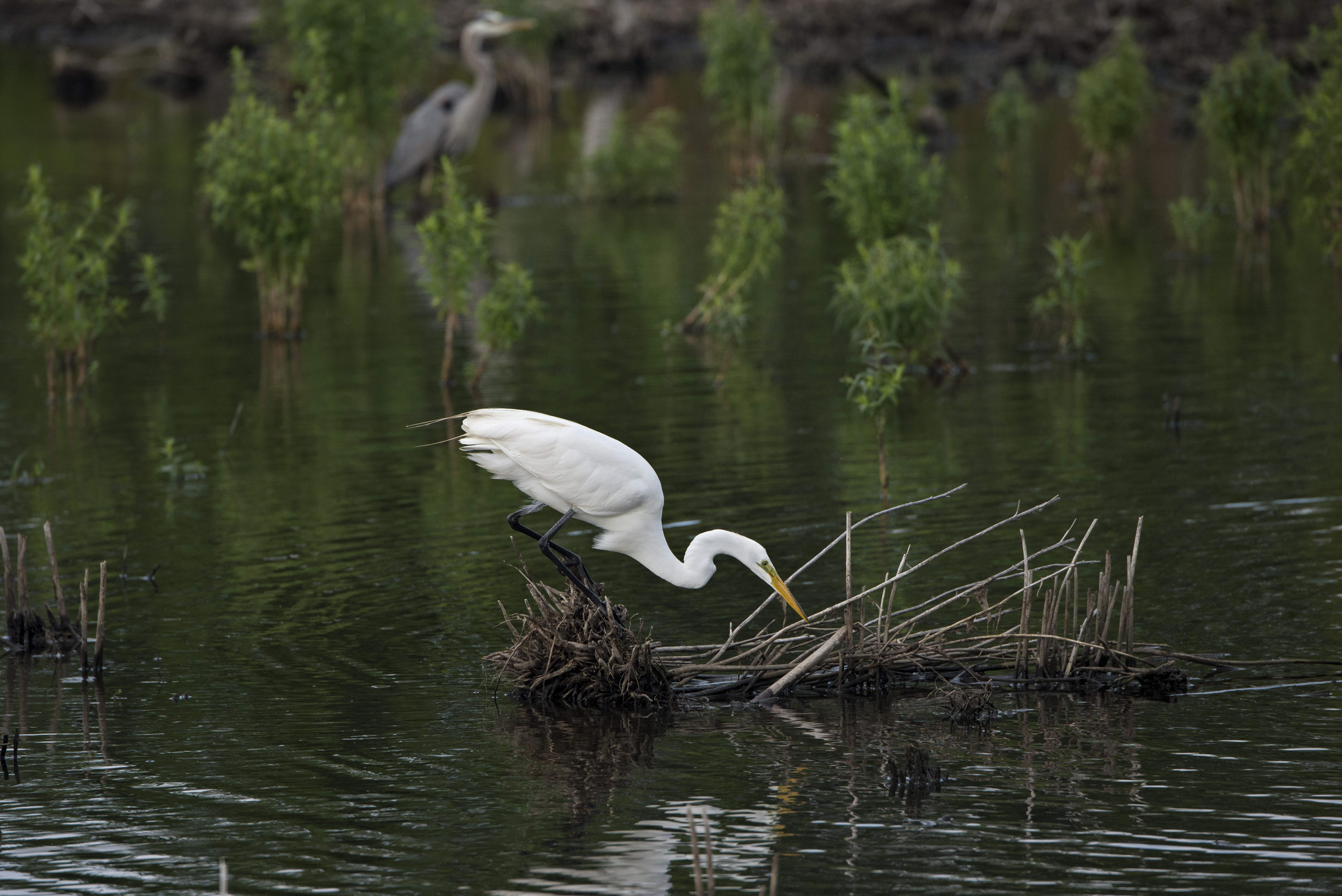 Great Egret: Graceful White Wader