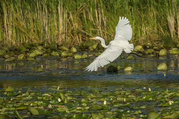 PHOTO: Great egret (Ardea alba).