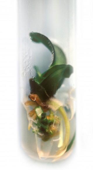 PHOTO: Haemanthus aliblos in vitro specimen.