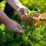 PHOTO: Hand-picking herbs. Photo © beall + thomas photography.