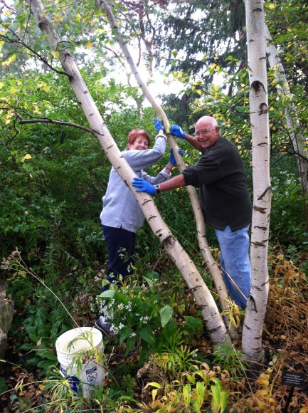 Volunteers clean moss and lichen from birch trunks.
