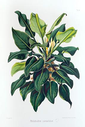 ILLUSTRATION: Philodendron cannaefolium by Heinrich Schott