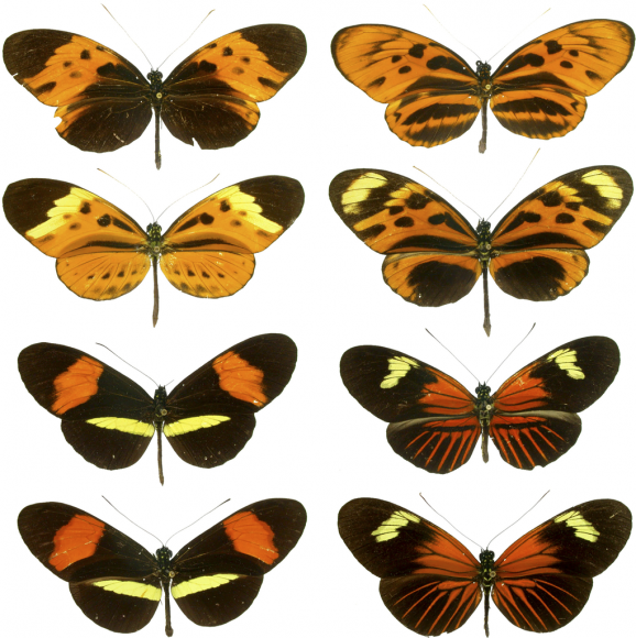 Mimicry in butterflies illustrated on these plates showing four forms of Heliconius numata, two forms of H. melpomene, and the two corresponding mimicking forms of H. erato. Image by see Source, via Wikimedia Commons.