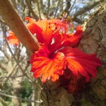 PHOTO: A brilliantly scarlet hibiscus bloom.