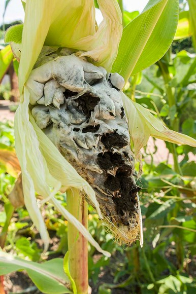 PHOTO: Corn smut, or Huitlacoche