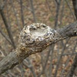 PHOTO: Hummingbird nest.