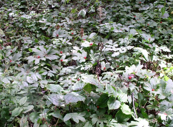 PHOTO: A field of goldenseal in fruit.