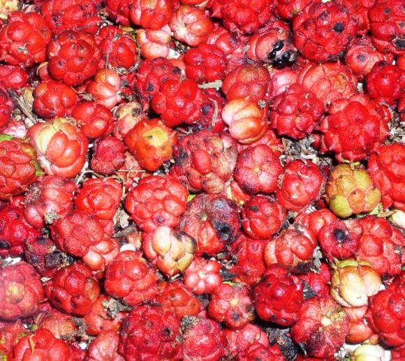 PHOTO: Hydrastis canadensis fruit.