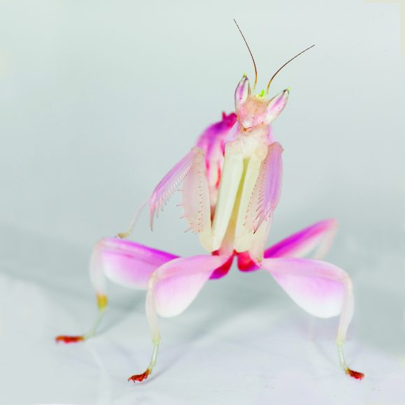 Hymenopus coronatus orchid mantis.