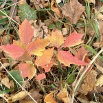 PHOTO: Close up of the the brilliant red leaves of a poison ivy plant