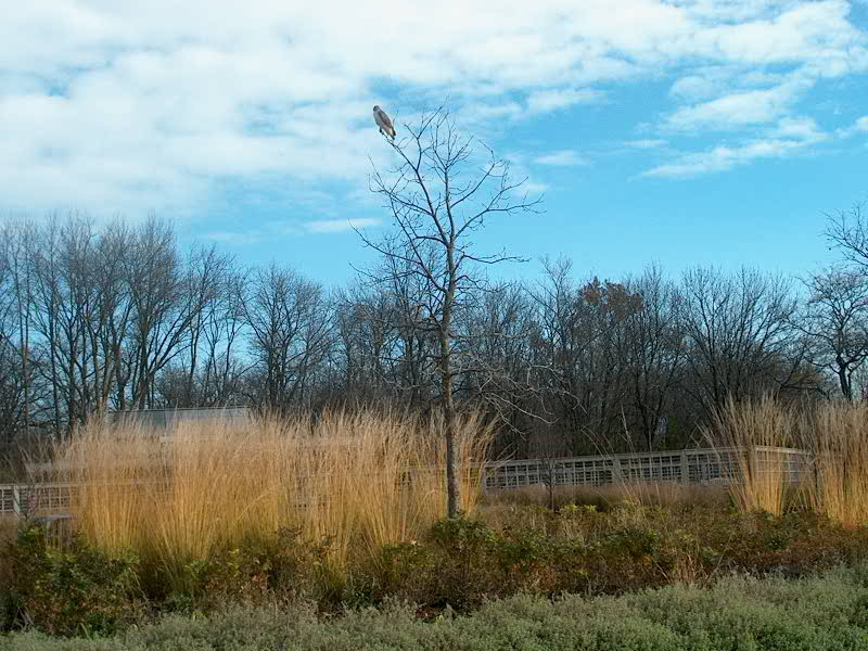 PHOTO: A red-tailed hawk is perched at the top of the young oak tree in teh Learning Campus Circle.