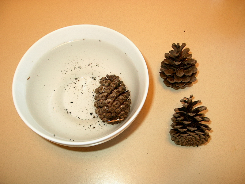 PHOTO: One pine cone is in the white bowl, now almost fully closed after ten minutes, while the other two are dry and unchanged at the side.