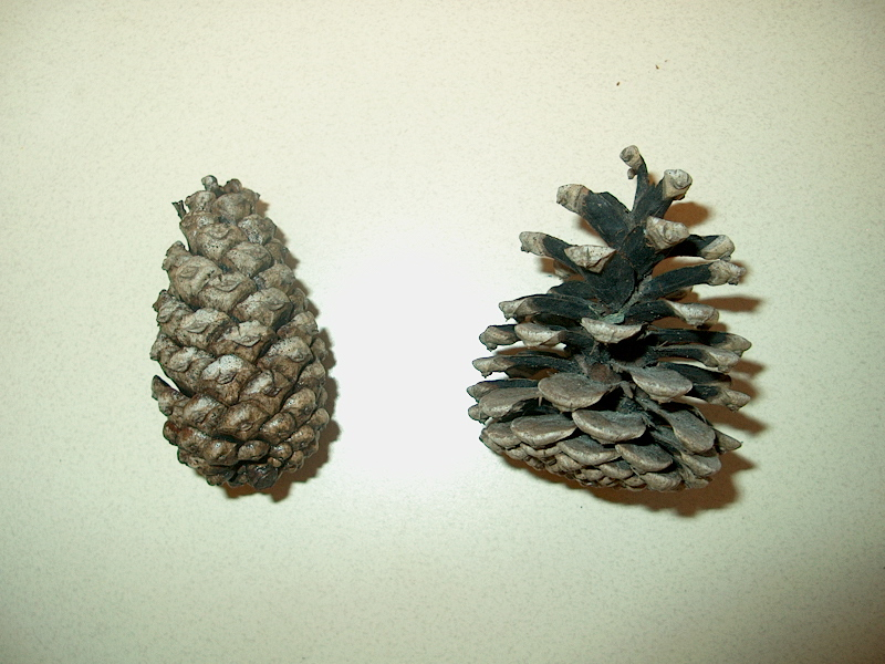 PHOTO: A wet, closed cone is shown next to a dry open cone.
