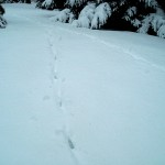 PHOTO: a clear stretch of snow has two coyote trails running up a small hill.