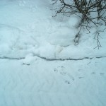 PHOTO: rabbit tracks follow a path in the snow.
